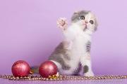 Шотланские вислоухие котята!