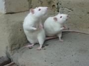 Крыски домашние декоративные