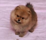 Собачки миниатюрный шпиц