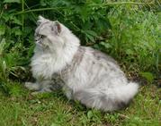 Продаю котят перс серебристая шиншилла