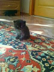 Экзотов плюшевых котят продам. Возраст 2 месяца,  2 мальчика и девочка.